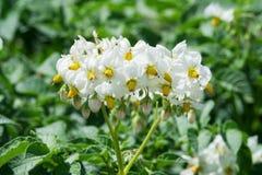 Plantes de pomme de terre fleurissantes blanches Images libres de droits