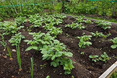 Plantes de pomme de terre organiques dans le jardin Photographie stock