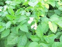 Plantes de pomme de terre vertes Images stock