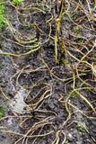 Plantes de pommes de terre inondées dans le domaine Images libres de droits