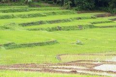 Plantes de riz Photographie stock libre de droits