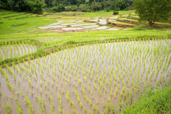 Plantes de riz Images stock