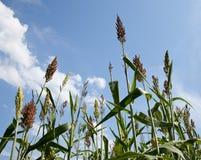 Plantes de sorgho cultivées pour l'éthanol et l'essence Images stock