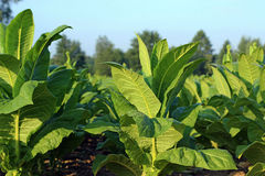 Plantes de tabac Images libres de droits