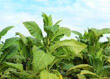 Plantes de tabac Photographie stock
