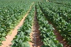 Plantes de tabac Image libre de droits