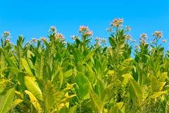 Plantes de tabac avec des lames, des fleurs et des bourgeons Image libre de droits