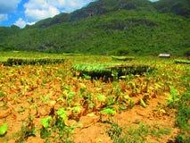 Plantes de tabac moissonnées accrochant jusqu'à sec dans un domaine photos libres de droits