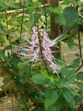 Plantes de thé de rein/fleur thé de Java images libres de droits