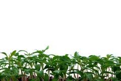 Plantes de tomate Photographie stock