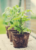 Plantes de tomate Photos stock