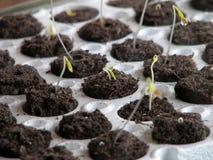 Plantes de tomate Images stock