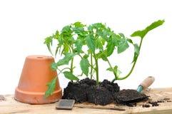 Plantes de tomate Photographie stock libre de droits