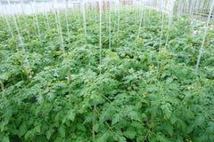 Plantes de tomate Images libres de droits