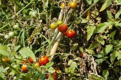 Plantes de tomate Photo stock
