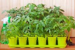 Plantes de tomate dans des bacs Photos libres de droits