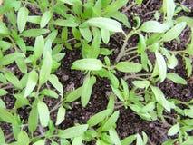 Plantes de tomate - petites jeunes plantes Photographie stock