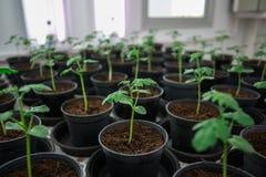 Plantes de tomate pour l'essai de la maladie. Photos stock