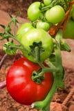 Plantes de tomate rouges. photos stock