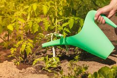Plantes de tomate vertes de arrosage en serre chaude photos stock