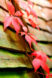 Plantes grimpantes de la Virginie d'automne Images stock