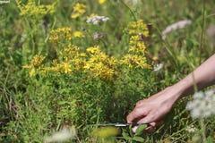 Plantes médicinales E Photo stock