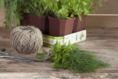 Plantes mises en pot épicées cultivées à la maison Photos stock