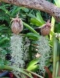 Plantes ornementales d'Usneoides de Tillandsia ou mousse espagnole Photos libres de droits