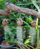 Plantes ornementales d'Usneoides de Tillandsia ou mousse espagnole Image libre de droits