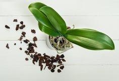 Plantes, sol, racine et mousse de phalaenopsis d'orchidée Image libre de droits