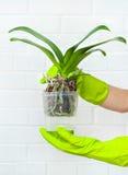 Plantes, sol, racine et mousse de phalaenopsis d'orchidée Photographie stock libre de droits