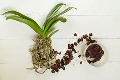 Plantes, sol, racine et mousse de phalaenopsis d'orchidée Images libres de droits