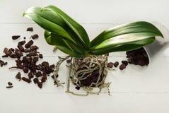 Plantes, sol, racine et mousse de phalaenopsis d'orchidée Image stock