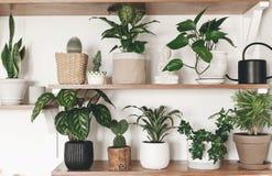 Plantes vertes élégantes et boîte d'arrosage noire sur les étagères en bois Décor moderne de pièce de hippie Cactus, calathea, di images stock