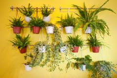 Plantes vertes accrochant sur le mur jaune photo stock
