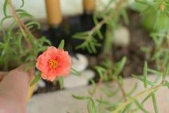 Plantes vertes de petite fleur orange dans des lames du pot deux Images libres de droits