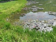 Plantes vertes de santé s'élevant du côté de l'étang images stock