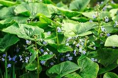 Plantes vertes Gras, Grünblätter und kleine blaue Blumen Abstrakter Frühlingshintergrund Stockbilder