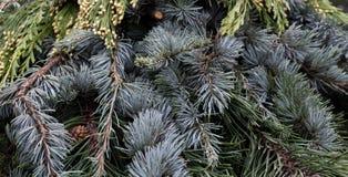 Plantes vertes mélangées d'agencement pour le cèdre de Noël Image libre de droits