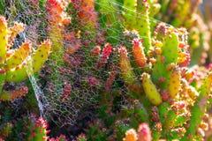 Plantes vertes succulentes en ?pi de cactus avec des ?pines et des toiles d'araign?e image stock
