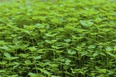 Plantes vertes Photo libre de droits