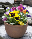 Planteur de patio de Pansy Flowers Photographie stock libre de droits