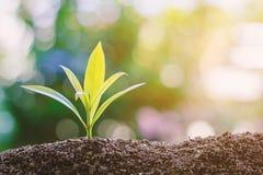 Plantez l'élevage du sol contre le fond naturel vert brouillé Photographie stock libre de droits