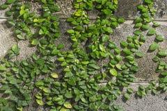 Plantez le mur, le Coatbuttons ou la couverture mexicaine de marguerite sur le mur Images stock