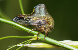 Planthopper Images stock