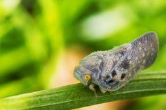 Planthopper del flatid dell'agrume - metcalfa pruinosa Immagini Stock