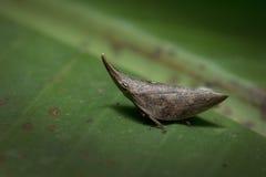 Planthopper en Thaïlande Photo libre de droits