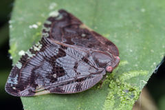 planthopper ricaniidae 免版税库存图片