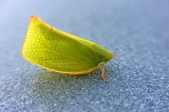 Planthopper verde Fotografia de Stock Royalty Free