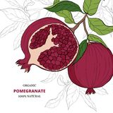 Plantilla del diseño de la fruta de la granada Fruta botánica Estilo exhausto de la fruta de la mano Ilustración imagenes de archivo